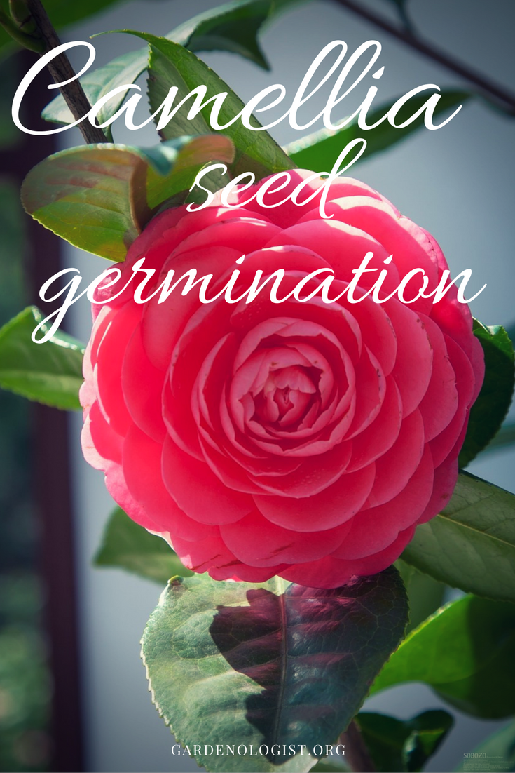 germinate camellia from seed