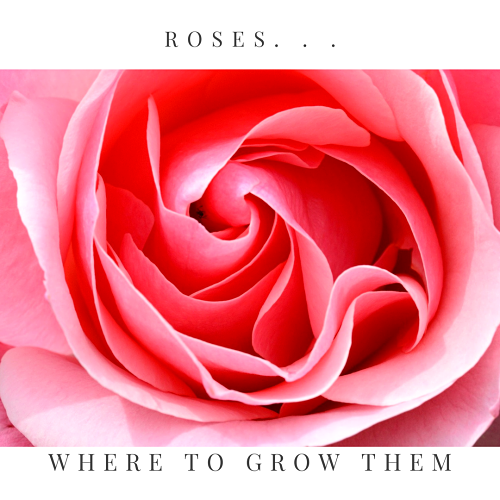 Where to plant roses
