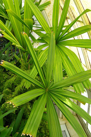 mangrove fan palm