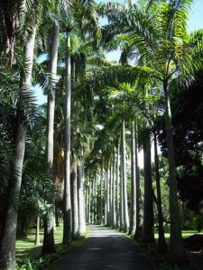 barbados royal palm
