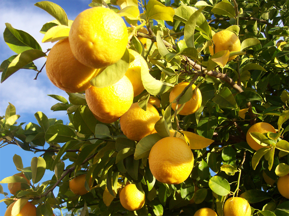 Sick Citrus Trees? How to Care for Them