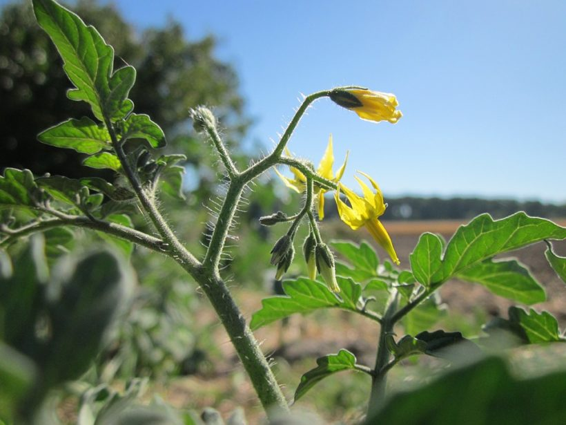 Should the first flowers or buds of a tomato plant be pinched off tomato flowers buds mightylinksfo
