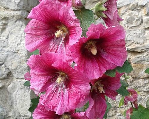 hollyhock-althea-flower_opt