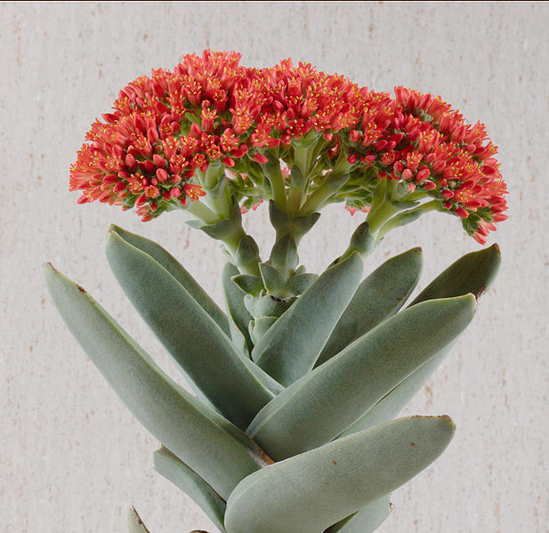 Succulents Have Some Of The Oddest Growing Habits All Plants And Airplane Plant Crula Perfoliata Subs Falcata Is A Good Example