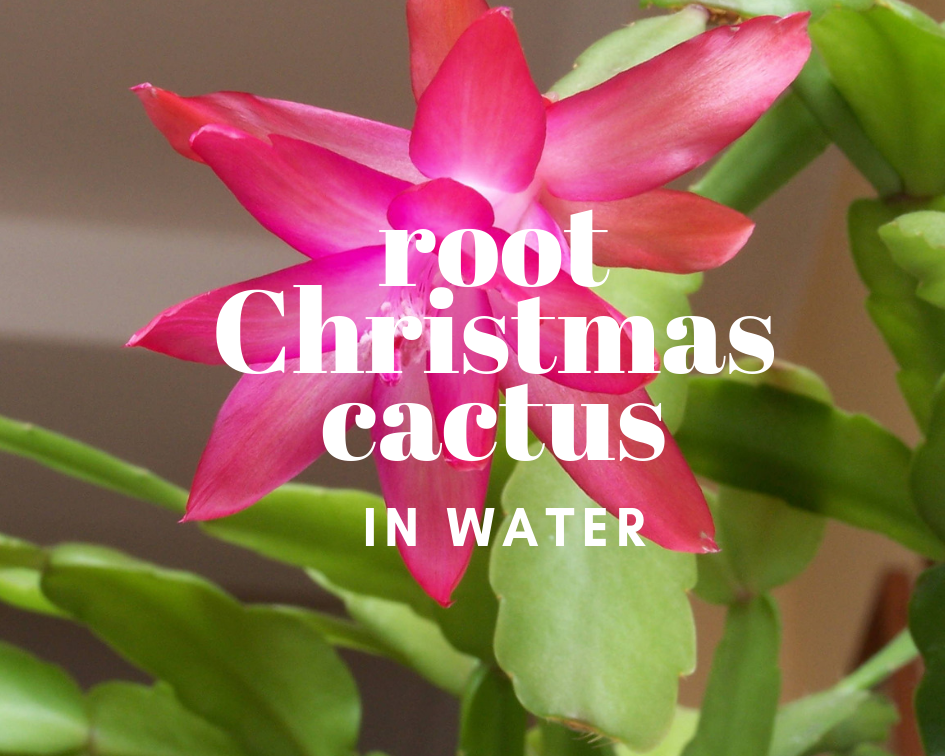 Christmas Cactus Blooming.How To Root Christmas Cactus Cuttings In Water Gardenologist