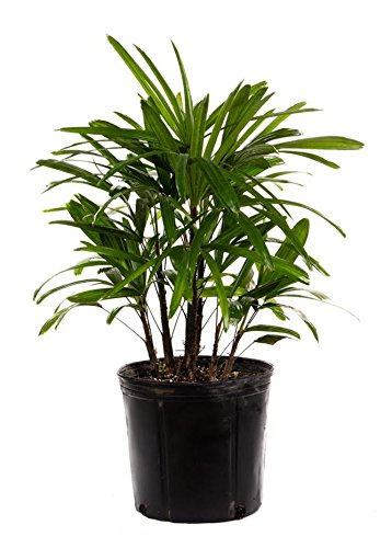 Majesty Palm Grow It In A Pot Indoors Gardenologist