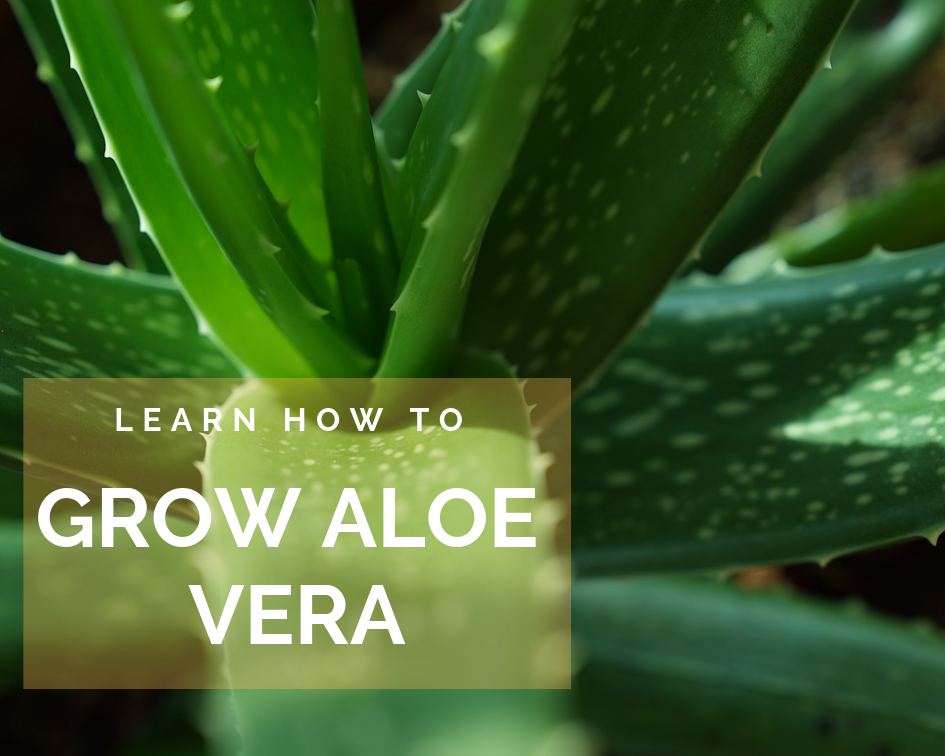 04d4e17ec92 Growing Aloe vera plants