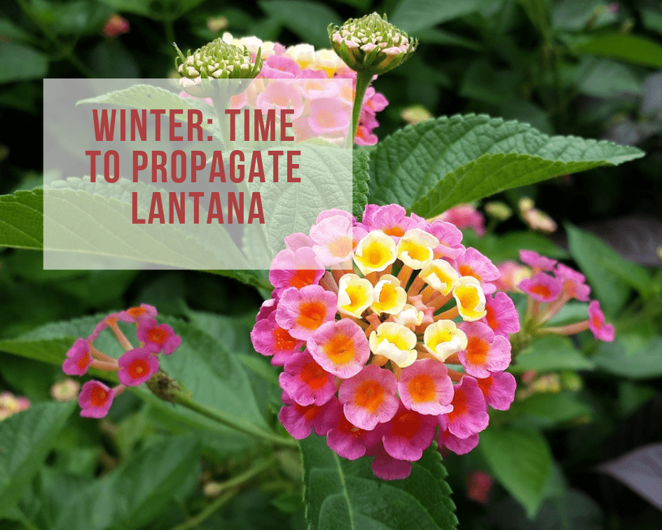 How To Propagate Lantana With Cuttings Gardenologist
