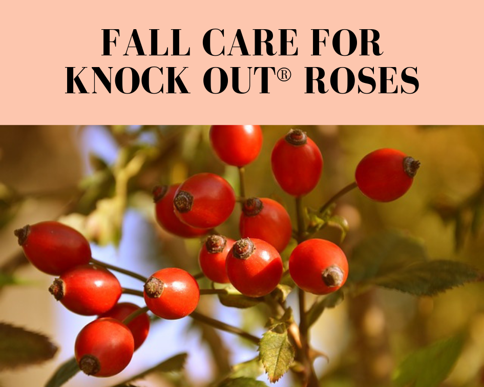3 Tips For Knock Out Rose Care In The Fall Gardenologist
