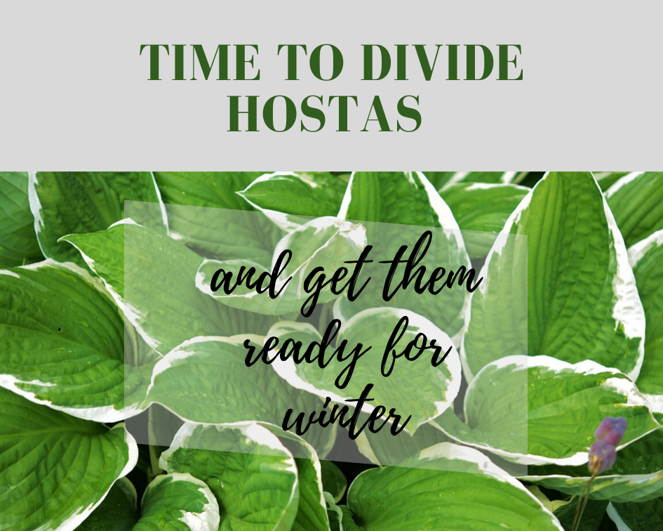 How To Care For And Divide Hostas In The Fall Gardenologist
